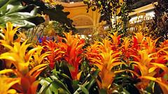 Bellagio_Chinese New Year 1-9 (Swallia23) Tags: las vegas flowers money hotel peach chinesenewyear casio nv bellagio yearofthemonkey 2016 conservatorybotanicalgarden