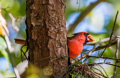 Cardinal-IMG_7944 (jnecr) Tags: cardinal