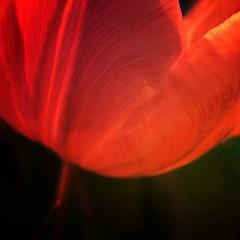 Tulip                   #macro #olloclip #olloclip_macro #mobiography #shootermag #shootermag_switzerland (Edith Meier) Tags: macro iphonemacro iphoneography olloclip olloclipmacro shootermag