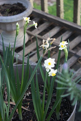 IMG_1849 (armadil) Tags: freecycle narcissus