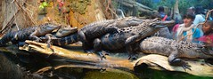 No Room on the Log.... (tvdflickr) Tags: copyright tourism chattanooga boys animal aquarium nikon df tennessee alligator males tennesseeaquarium chattanoogatennessee spectatorts nikondf photosbytomdriggers photobytomdriggers thomasdriggersphotography