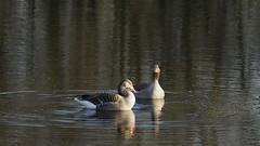 Flirting (nikjanssen) Tags: geese limburg grauweganzen natuurgebiedmariahofbeek