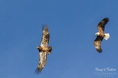 Bald Eagles battle for breakfast - Sequence - 3 of 42