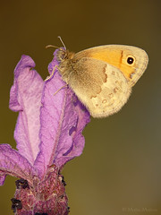 Contrastes (Maite Mojica) Tags: primavera atardecer flor lepidoptera campo mariposa insecto ninfa pamphilus lavandula nymphalidae lepidptero coenonympha linneo stoechas artrpodo cantueso ninflido