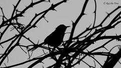 Plain Prinia Silhouette (Raj the Tora) Tags: bridge bird beach nature silhouette fauna wildlife aves priniainornata floraandfauna warbler besantnagar avifauna besant adyar besantnagarbeach brokenbridge adayar birdsilhouette beachbeauties beachbridge wrenwarbler adayaru priniasilhouette plainpriniasilhouette plainpriniaortheplainwrenwarbler orwhitebrowedwrenwarbler