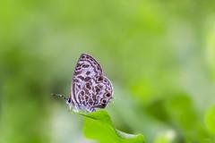 Butterfly in my yard (satochappy) Tags: macro green nature yard butterfly garden leaf       lycaenidae