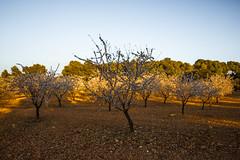 Almendros en Flor (Garimba Rekords) Tags: naturaleza primavera atardecer la flor campo albacete castilla mancha almendros