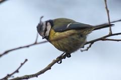 Little Blue (riggy-riggo) Tags: bird nature woodland kent spring wildlife bluetit canon70300mm canon5dmarkll deborahrigden riggyriggo debbierigden