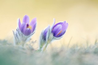 European pasqueflower (Pulsatilla vulgaris)