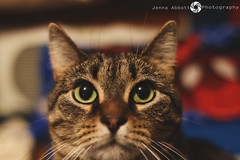 22/365 (JennaAbbottPhotography) Tags: cute eye cat eyes tabby kitty cateyes tabbycat catnose skidder 365day