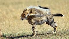 Cheetah rodeo (John Kok) Tags: kenya ngc npc cheetah masaimara acinonyxjubatus serian nikkor80056evr september2015
