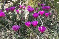 Even the cacti are enjoying spring.. (J Centavo) Tags: cactus strawberry echinocereus enneacanthus