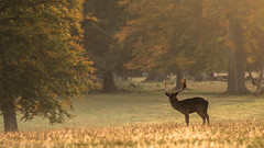 Free time (NED_KELLY_GUY) Tags: autumn nature woodland landscape stag wildlife chilterns deer antlers dew fields lone buck fallow hertfordshire ashridge grassy rut cervidae