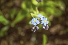 DSC_5860 (Kll at GMS) Tags: blue alaska purple forgetmenot wildflowers gypsymoonstudios akfineart kelliharlow