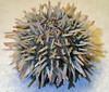 Lytechinus variegatus (variegated sea urchin) (Sanibel Island, Florida, USA) 2 (James St. John) Tags: sea island florida short variegated urchin sanibel urchins echinoid spined variegatus echinoidea echinoids lytechinus