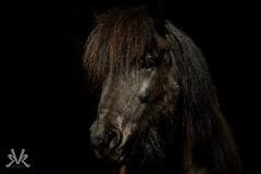 Leira, islandic horse (Kasinfoto @ Facebook) Tags: portrait horses horse black dark nikon icelandic hst d610 islandshst