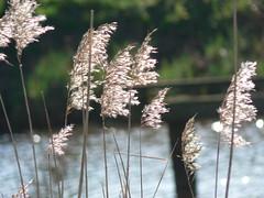 water's edge (achatphoenix) Tags: reed water grass eau wasser