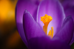 All from Nothing (jasohill) Tags: life flowers color macro texture nature colors beauty japan closeup photography petals spring focus colorful bright birth crocus center stamen emergence iwate selective outstanding flowersplants 2016 f64g75r1win