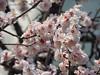 Yushima Tenjin Plum Blossom Festival (spunktitud3) Tags: japan tokyo spring 日本 東京 ume yushima tenjin 梅 plumblossoms yushimatenjin 湯島 祭り 湯島天神 千代田線 yushimatenjinshrine 湯島天神梅まつり
