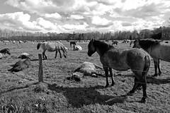 Wild Horses in black-and-white - Herd - 2016-017_Web (berni.radke) Tags: horse pony herd nordrheinwestfalen colt wildhorses foal fohlen croy herde dlmen feralhorses wildpferdebahn merfelderbruch merfeld przewalskipferd wildpferde dlmenerwildpferd equusferus dlmenerpferd dlmenpony herzogvoncroy wildhorsetrack