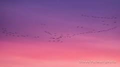 Roosting Pink Footed Geese (outdoorjive@btinternet.com) Tags: desktop uk england birds other unitedkingdom norfolk places gb flikr eastanglia sunsetsunrise wolferton homekingslynnnorfolk