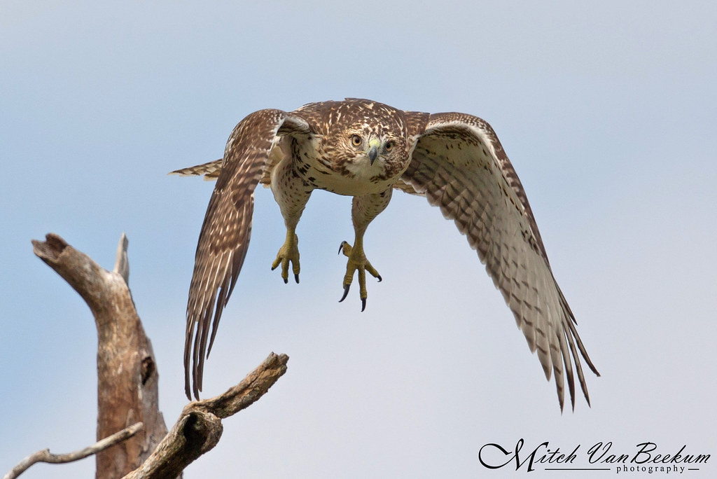 Heads Up! (Red-Tailed Hawk)