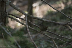 "Winter Wren • <a style=""font-size:0.8em;"" href=""http://www.flickr.com/photos/63501323@N07/25973690853/"" target=""_blank"">View on Flickr</a>"