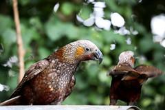 Zealandia ~ Kaka (whitebear100) Tags: newzealand nz wellington northisland kaka zealandia
