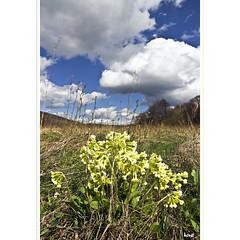 Eine Faust voll Schlsselblumen (horstmall) Tags: yellow jaune spring gelb alb primula printemps frhling vulgaris schwbischealb swabianalps gemeine lenningen schlsselblume schopfloch donnstetten jurasouabe albhochflche horstmall binsenlachen