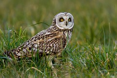 Un dernier regard ... (Franck Sebert) Tags: wild mars bird nature animal wildlife des owl marais extérieur oiseau libre 2012 asio sauvage hibou 2016 shorteared flammeus