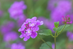 Purple Lantana (satochappy) Tags: macro green field dof purple  lantana
