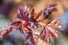Foglie rosse (Eleonora Cacciari) Tags: nature colors foglie reflex tramonto colore natura rosso colori emiliaromagna esterno allaperto coloricaldi foglierosse canonefs18135mmf3556isstm eos1200d canoneos1200d eleonoracacciari