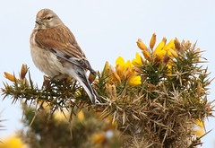 Linnet on yellow Gorse (GrahamParryWildlife) Tags: new uk pink orange flower bird animal sport yellow photo kent flickr outdoor small sigma crest sharp add tiny 7d mk2 dungeness lin viewing plump pointed songbird gorse linnet rspb 150600 grahamparrywildlife