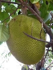 2D1N Mae Taeng Trek, Thailand (Jan-2016) 07-054 (MistyTree Adventures) Tags: plant fruit thailand asia seasia outdoor jackfruit maetaeng