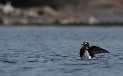 Long-tailed Duck sitting on its tail