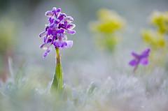 Kleines Knabnekraut (MichaelMerl) Tags: bayern nikon orchidee orchis morio kleines knabenkraut anacamptis heimische