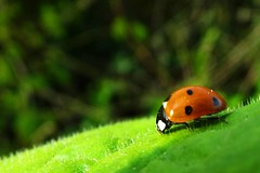 Ladybird [explored] (claire.nicholson22) Tags: red insect outdoors leaf ladybird