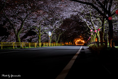 (yomoneko1) Tags: zeiss sony blossoms plumblossoms 77