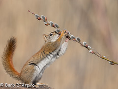If it looks like spring, and smells like spring, it must be spring... (Barb D'Arpino Photography) Tags: ontario canada nature outdoors spring wildlife northamerica pussywillow wildlifephotographer wasagabeach redsquirrel rufous naturephotographer americanredsquirrel backyardigan springwinter vulpesvulpesfulvus furrycatkin naturethroughmyeyescom barbaralynne eos1dx canon1dx copyrightbarbdarpino barbaralynnedarpino barbdeardendarpino squirrelandpussywillow