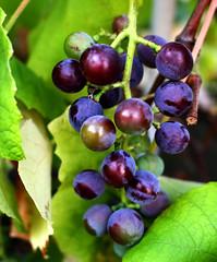 Grapes (stefanie.weinrich) Tags: wein trauben frchte