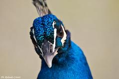 Pavone _008 (Rolando CRINITI) Tags: bird birds natura uccelli uccello pavone arenzano ornitologia