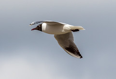 Black Headed Gull-1-2 (worlknut) Tags: black birds wildlife gull flash headed pennington
