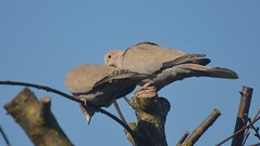 Collared Doves (12) Breeding Pair and did start to Build a nest in this tree but now in another tree (John Carson Essex) Tags: thegalaxy supersix rainbowofnature thegalaxystars