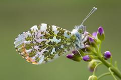 Aurorafalter (Anthocharis cardamines)_Q22A0811-BF (Bluesfreak) Tags: lepidoptera insekten schmetterlinge orangetip aurorafalter anthochariscardamines tagfalter