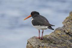 Haematopus ostralegus (sprytnyiwybitny) Tags: uk sea bird wales haematopus ostralegus