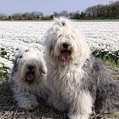 flower greeting (GdeB fotografeert) Tags: castricum oes oldenglishsheepdogs bloembollenveld rheaenlisa gdebfotografeert