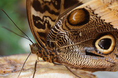 Focus (Nerissa Smit) Tags: macro nature amsterdam animals closeup zoo wings insects artis butterflys