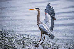 Touchdown (Chris Parmeter Photography (smokinman88)) Tags: blue bird heron water animal sport bay washington nikon great sigma landing padilla gbh d810 150600m