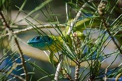 Green lizard on needles (spevin) Tags: nikon animali sicilia maro ramarro rettile d7200