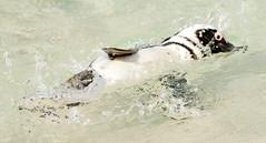 Penguin (splashing around) (vsturgess) Tags: blackandwhite water swimming zoo penguin whipsnade splashing